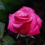 kaplya rose