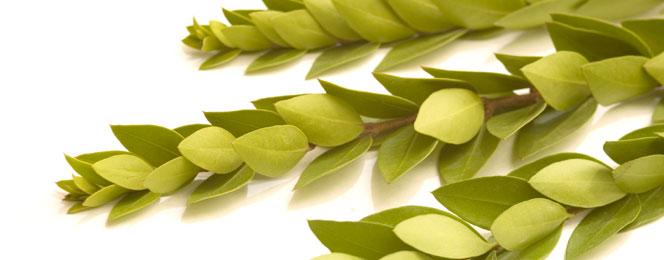 листья этрога