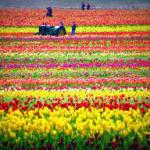 tulip 2015