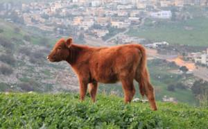 кошерные красные коровы