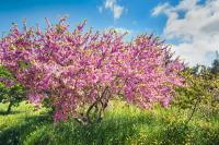Цветущее миндальное дерево — символ праздника (Фото: zebra0209, Shutterstock)